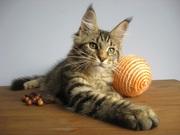 Домашняя рысь у вас дома,  котята мейн-кун