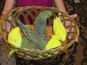 Волнистые попугайчики,  возраст 1, 5-2 мес. домашнего разведения