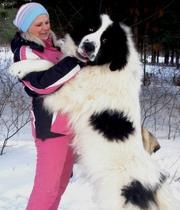 Ландзеер-эксклюзивные щенки!Первый помёт в России!