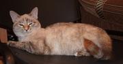 -Невская маскарадная-котёнок очаровашка для вас!
