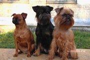 щенки брюсельского грифона и пти брабансона кобели  с родословной